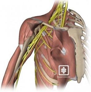 Shoulder Nerves